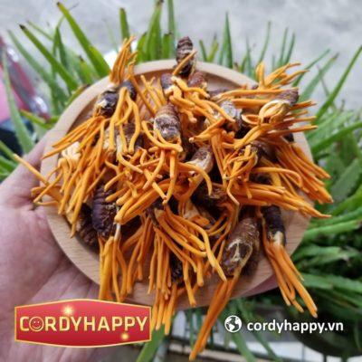 Đông trùng Hạ thảo Kí chủ nhộng tằm sấy khô CordyHappy