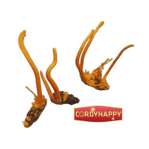 đông trùng hạ thảo nguyên con khô cordyhappy